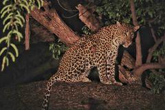 Leoparden Pirsch