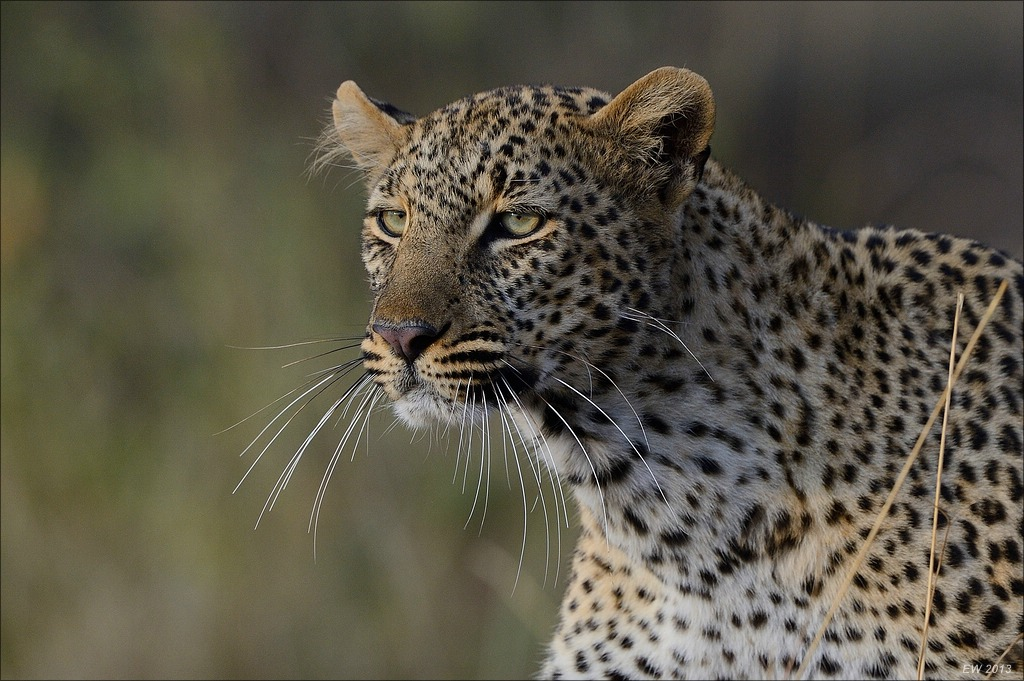 Leoparden Portrait