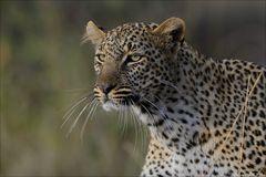 Leoparden Portrait