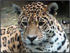 Leoparden-Portrait im Rostocker Zoo