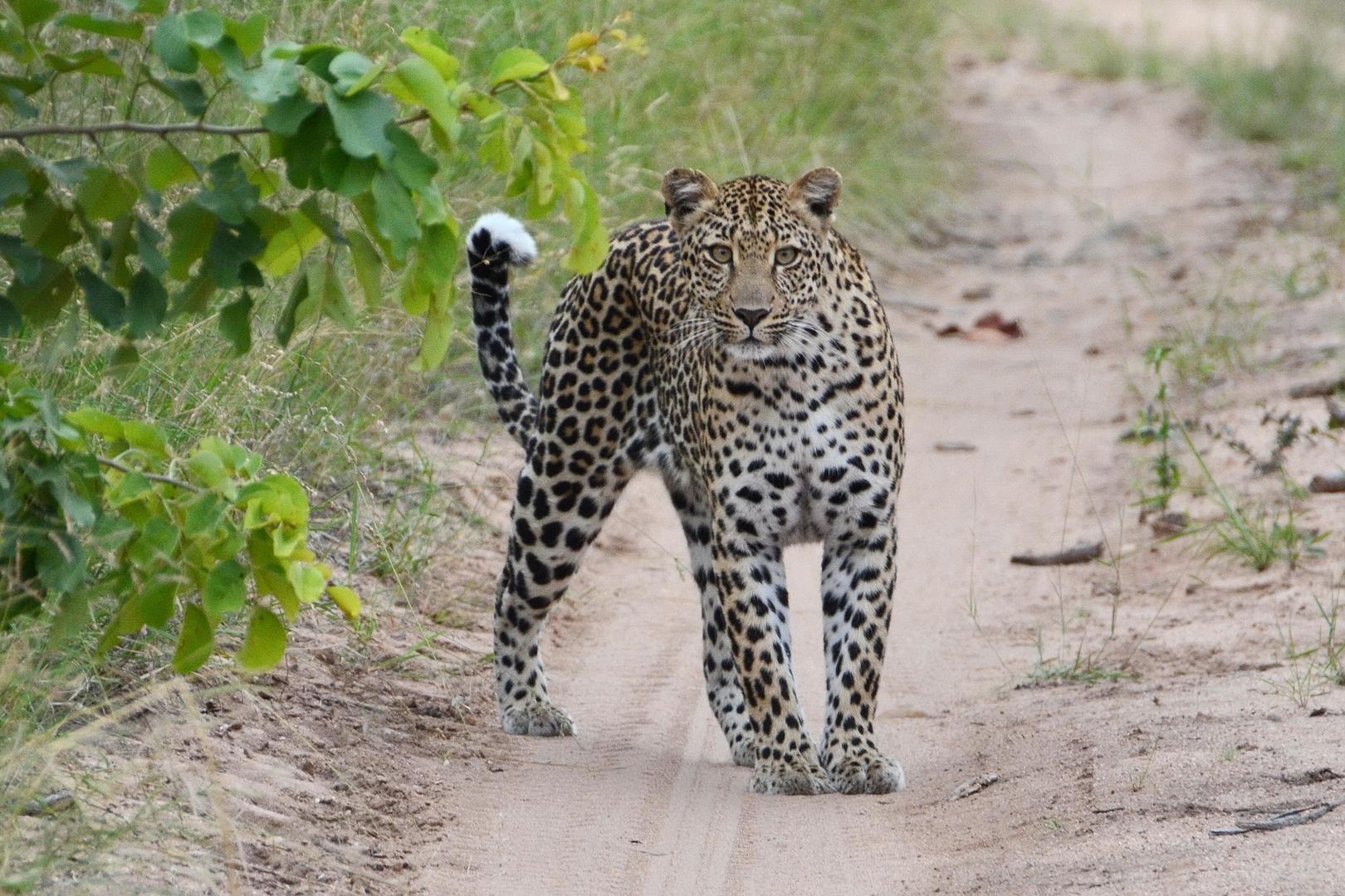 Leopardenbegegnung