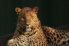 Leopardenblick