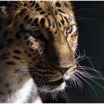Leopardenblick...