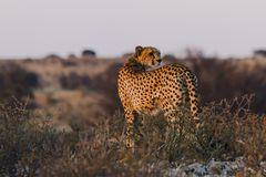 Leopardenmutter im Kgalagadi Transfrontier Park