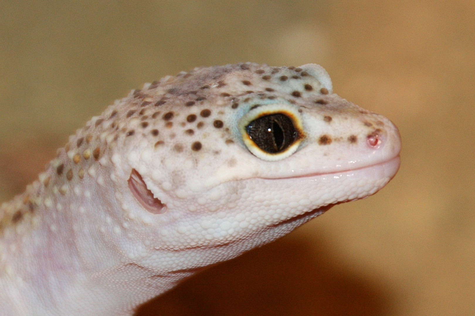 Leopardgecko IV