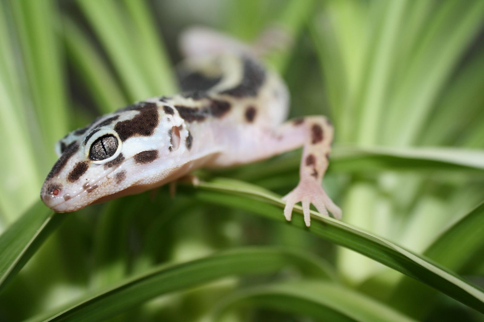 Leopardgecko Jungtier