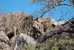 Leopardin mit Beute