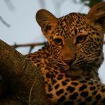 Leopardo al tramonto