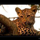 Leopardo al tramonto (reload)