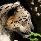 Leopardo delle nevi (Uncia Uncia)