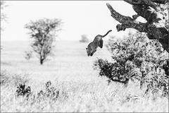 Leopard's Jump