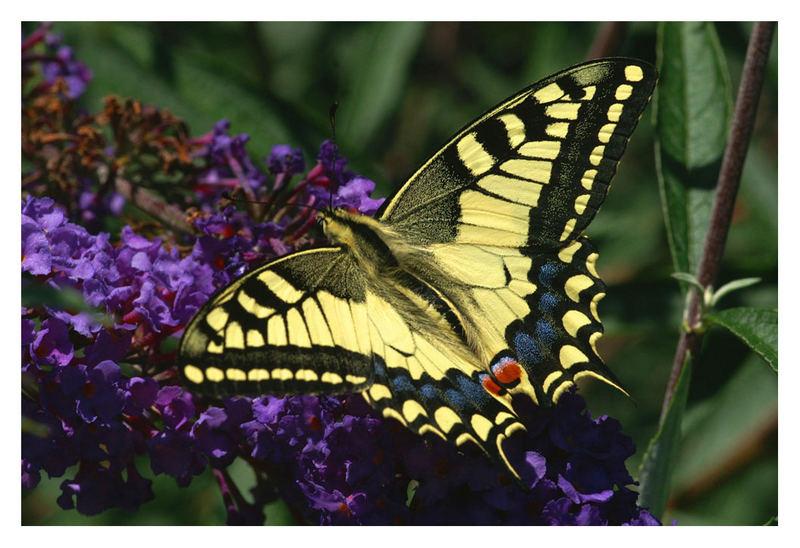 Lepidotteri 2