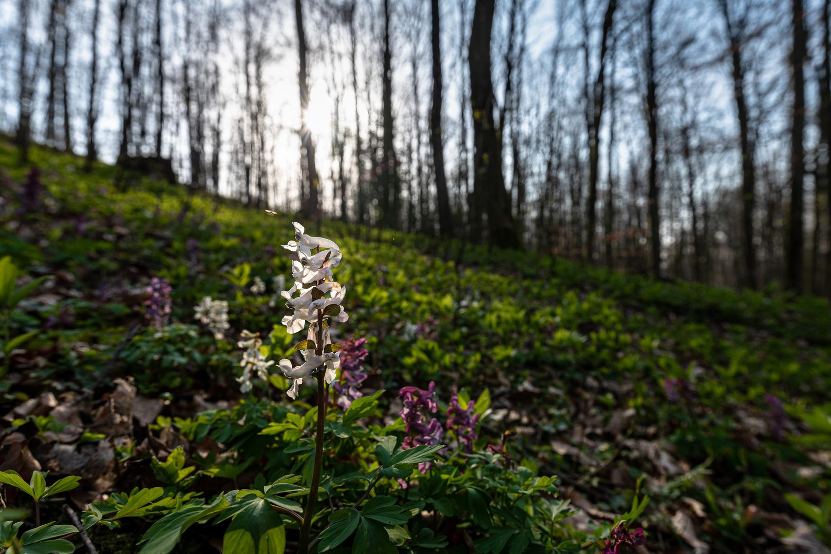 Lerchensporn-Blüte weiß