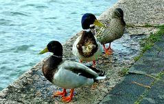 Les 3 canards