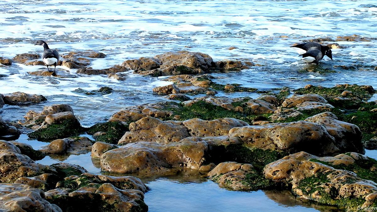 Les algues vertes
