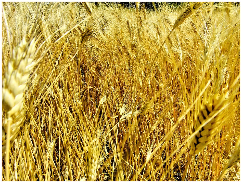 Les blés (2)