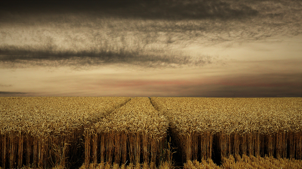 les blés mûrs
