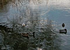 Les canards en balade