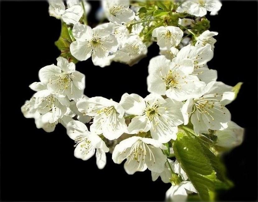 les cerisiers sont blancs....... revoilà le Printemps !!!!!