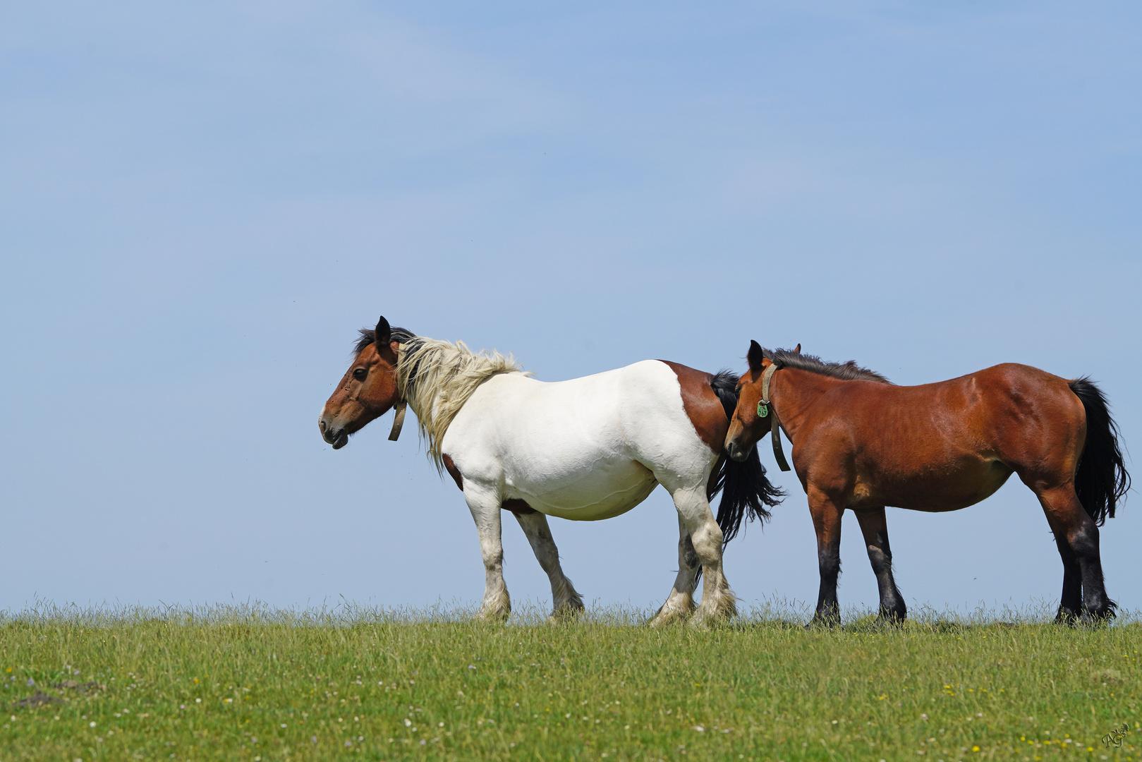 Les chevaux.... au Pays basque