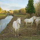 Les chevaux du marais