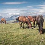 Les chevaux sur les Alpages