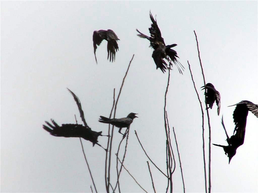 Les corbeaux chants et danses