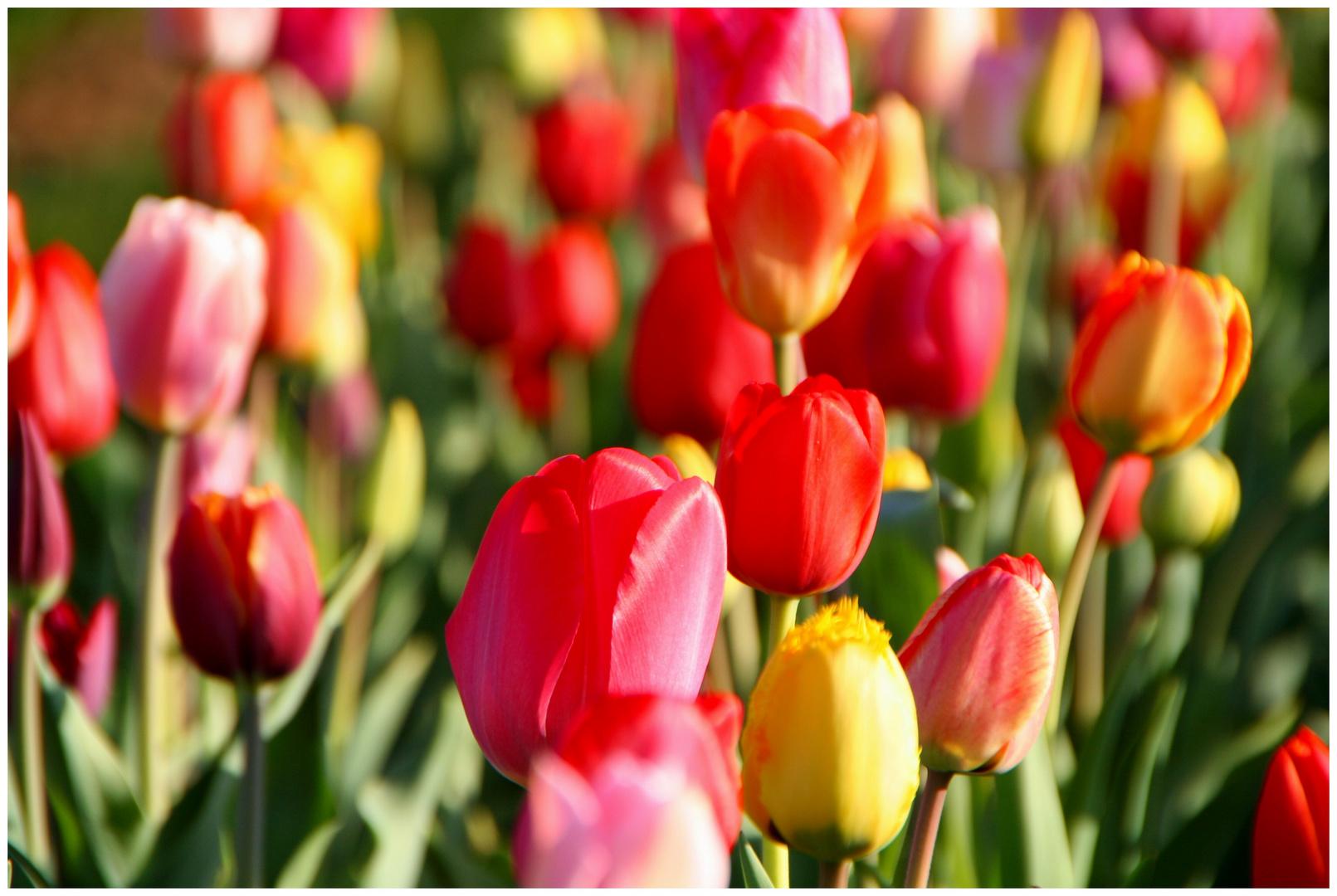 les couleurs du printemps no 3 foto bild pflanzen pilze flechten bl ten. Black Bedroom Furniture Sets. Home Design Ideas