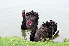 Les cygnes noirs ....