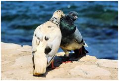 Les deux pigeons