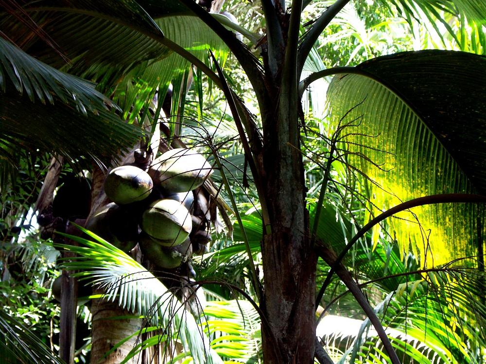 "Les fameux cocotiers de la ""Vallée de Mai"" (Ile de Praslin)"