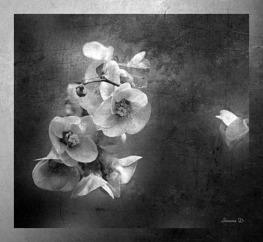 Les fleurs du cognassier