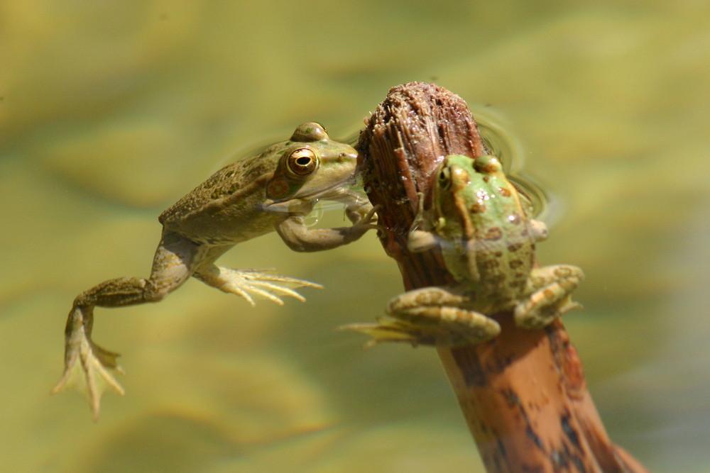 les grenouilles de tozeur