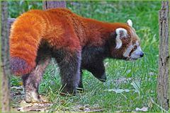 """les grosses"""" papattes""""....du panda roux"""