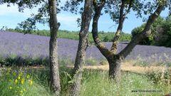 Les Lavandes de Provence