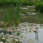 Les lotus .....