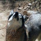 les loups aiment aussi les biscuits...