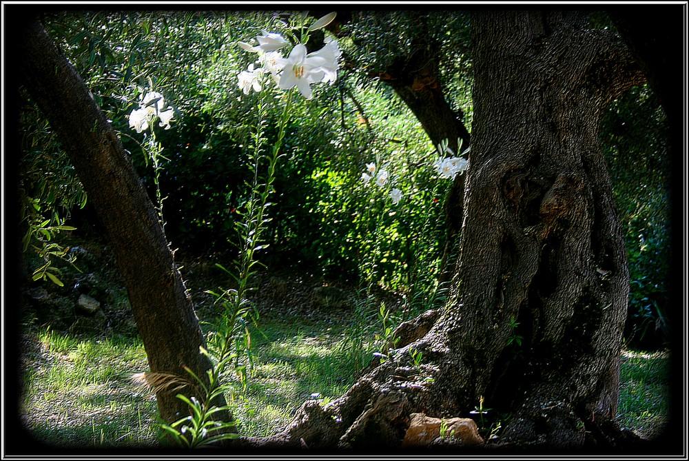 Les lys et l 'olivier