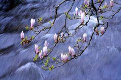 les magnolias chahutés par l'Aven