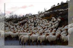 * les moutons *