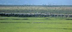Les Moutons au Prés salés.......