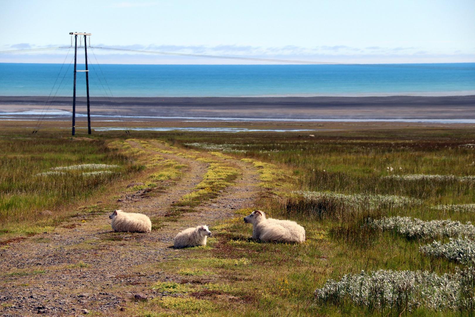 Les moutons, une passion