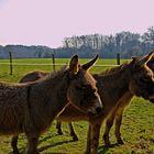 les ânes au pré