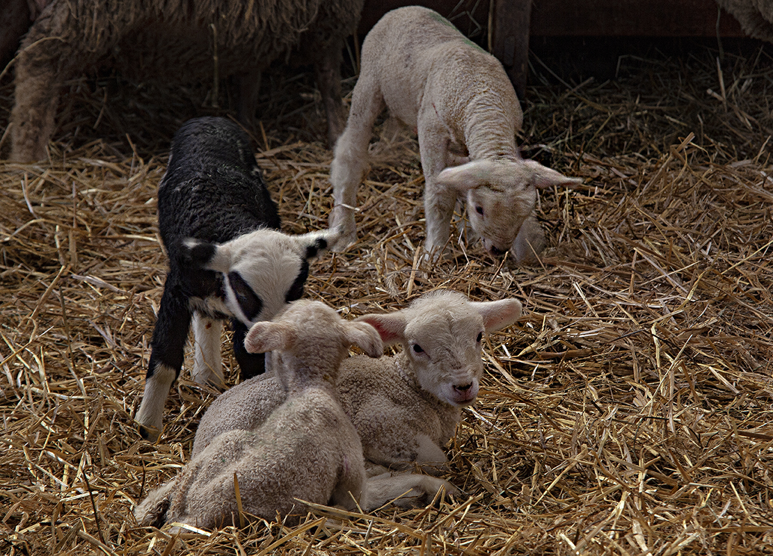 Les nouveaux nés du printemps .