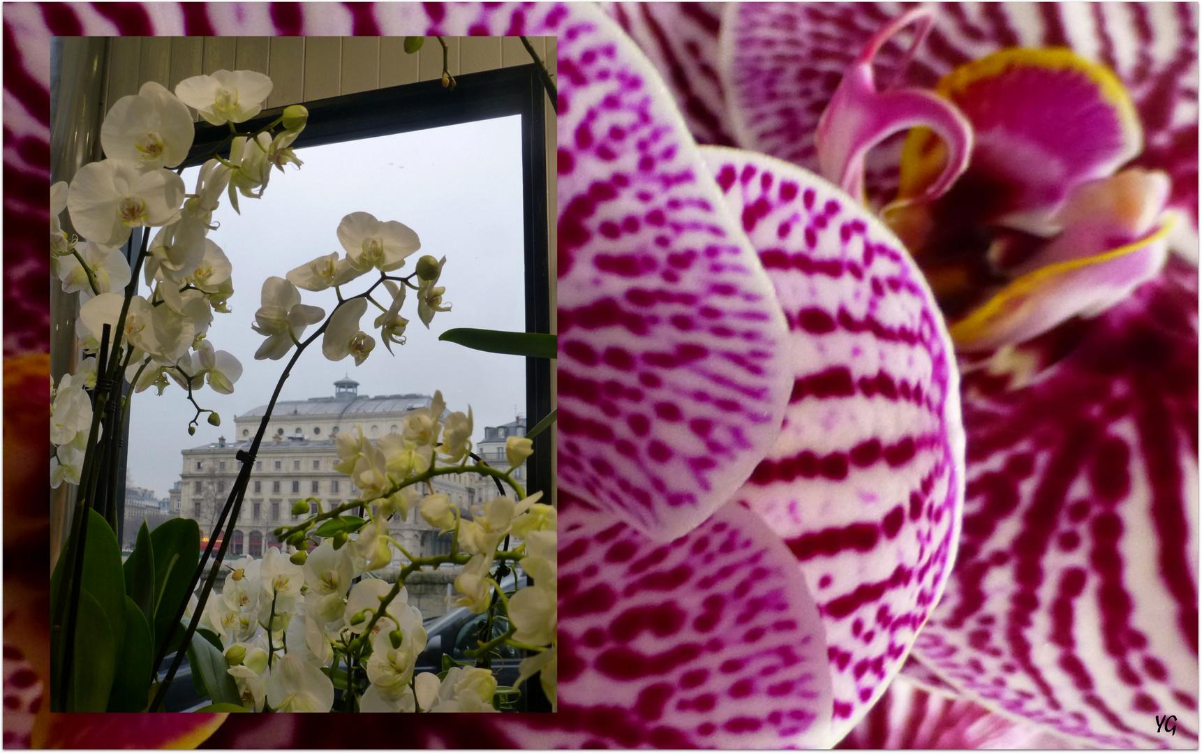Les orchidées de l'Ile de la Cité...