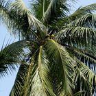 Les palmiers du golfe du Bengale