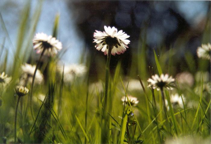 les petite fleurs