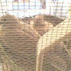 Les petits pigeons