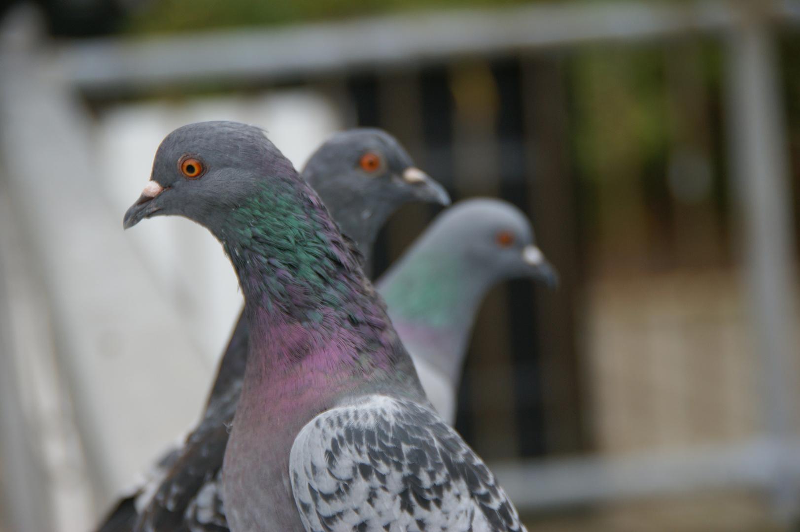 Les Pigeons Américains :-)