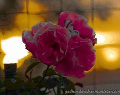 les roses brûlées